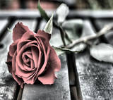 th_Rose-wallpaper-8646080